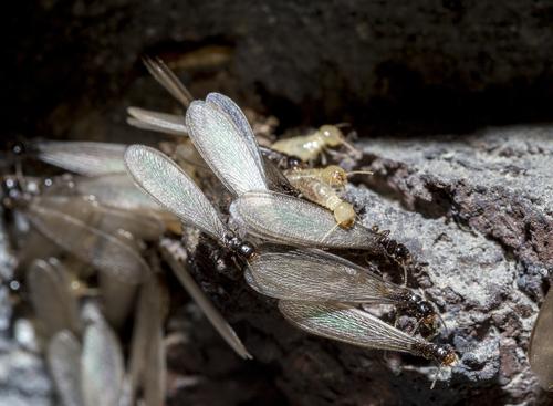 Connecticut Termite Swarms