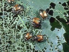 Image result for skeletonized japanese beetle